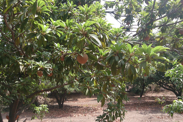 Sapodilla Tree - Sticky History – Where Does Chewing Gum Come From?